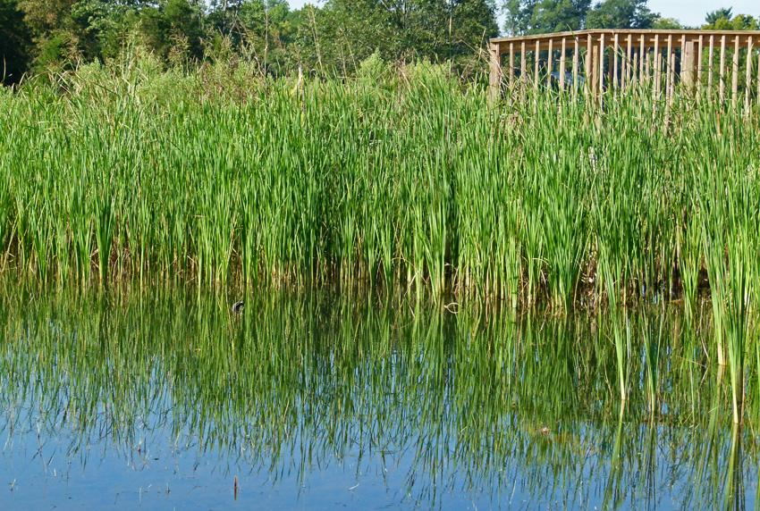 Emergent Pond Weeds