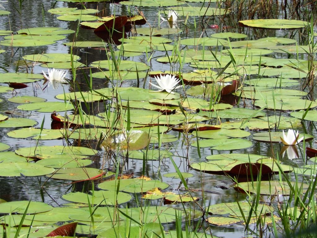 Floating Pond Weeds
